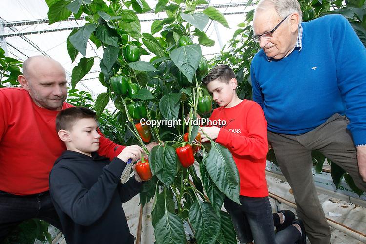 """Foto: VidiPhoto<br /> <br /> EST – Bij paprikateler Best Peppers in Est plukken drie generaties Van den Berg donderdag de eerste rode paprika's. Opa Frank (76) plukt met kleinzoon Joep (12) en vader Wilfred (44) instrueert Tijn (14). De jongens helpen steeds vaker in het 11 ha. grote bedrijf, waar jaarlijks 18 miljoen rode paprika's worden geoogst. Paprikatelers hebben de wind in de zeilen nu enkele huisartsen de slogan """"geen pillen maar paprika's"""" hebben geïntroduceerd. Paprika's blijken vitaminebommen te zijn die zorgen voor meer gezondheid en weerstand van het lichaam tegen virussen. De telers zijn dan ook zeer tevreden over de prijzen voor de rode paprika's aan het begin van het seizoen."""