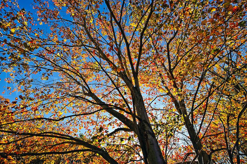 Autumn tree and foliage, Connecticut, CT, USA