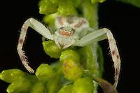 Swift Crab Spider (Mecaphesa celer), West Harrison, Westchester County, New York
