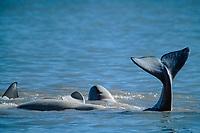 beluga whales, Delphinapterus leucas, tail splashing, Somerset Island, Nunavut, Canada, Arctic Ocean