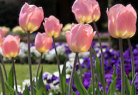 Stock image of baby pink Tulip flowers with yellow shades, blooming in a garden.