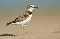 Wilson's Plover (Charadrius wilsonia), adult, South Padre Island, Texas, USA
