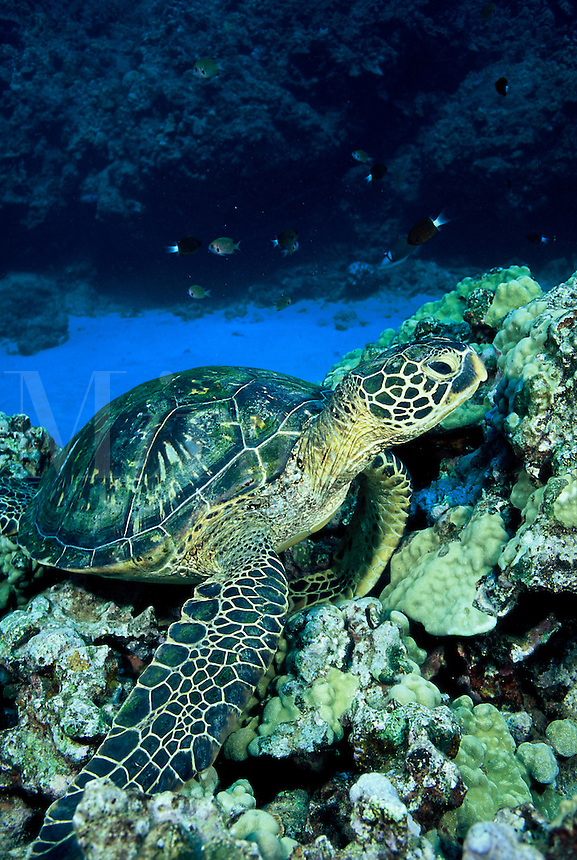GREEN SEA TURTLE Chelonia mydas HAWAII.