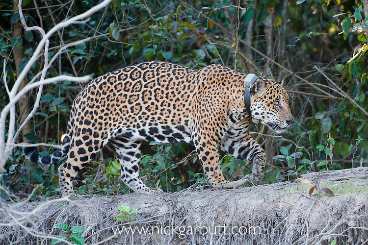 Tagged / collared male jaguar (Panthera onca palustris), aged 13 years, walking along the bank of the Cuiaba River, near Porto Jofre, northern Pantanal, Mato Grosso State, Brazil, South America.