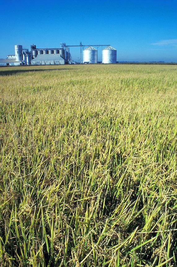 rice field California