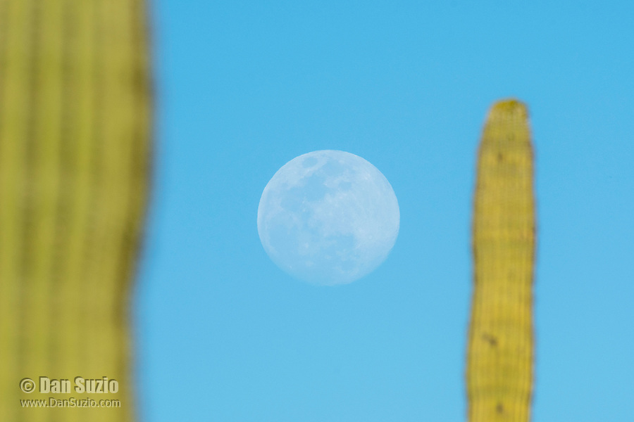 Full moon and Saguaro cactus, Carnegiea gigantea, in Saguaro National Park, Arizona