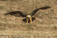 Lammergeier vulture