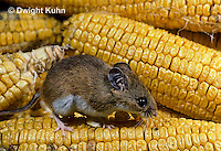 MU54-012z   White-Footed Mouse - eating corn -  Peromyscus leucopus
