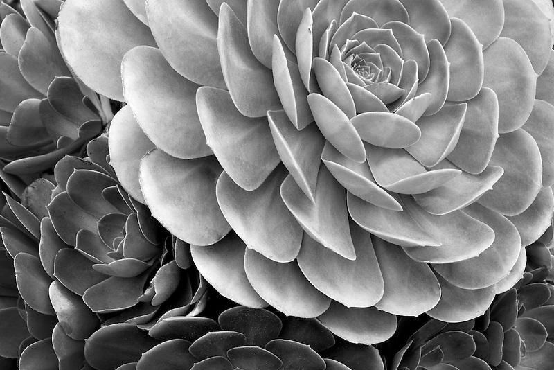 Close up of Aeonium urbicum. Mailbu, California
