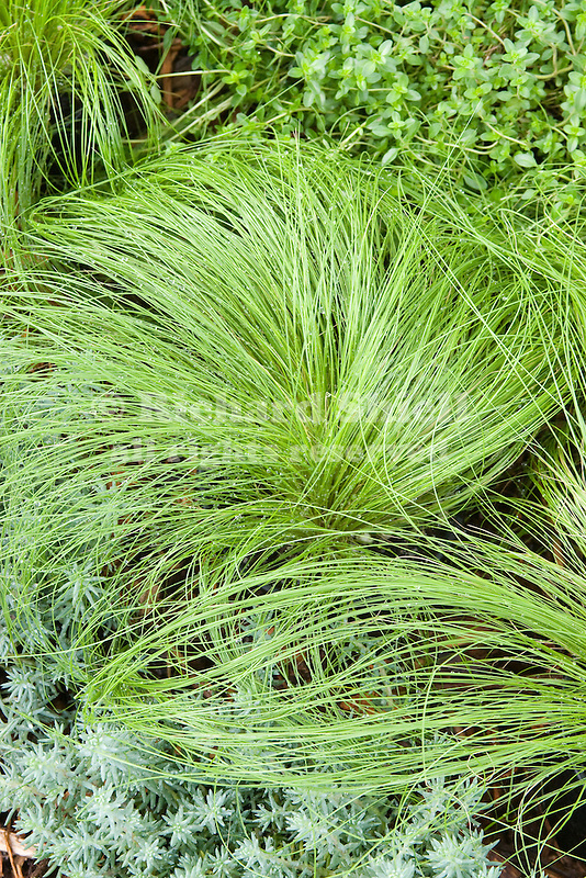 PONY TAILS GRASS, MASSELLA TENUISSIMA