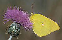 Southern Dogface, Colias cesonia, male on thistle, Starr County, Rio Grande Valley, Texas, USA, May 2002