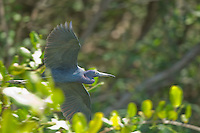 Little blue heron, Egretta caerulea, flying over the Tarcoles River, Costa Rica