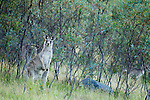 Eastern Grey Kangaroo (Macropus giganteus) juvenile in shrubland, Mount Taylor Nature Reserve, Canberra, Australian Capital Territory, Australia