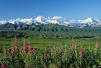 Summer green tundra and muldrow glacier moraine, fireweed, Alaska mountain range, Denali National Park, Alaska