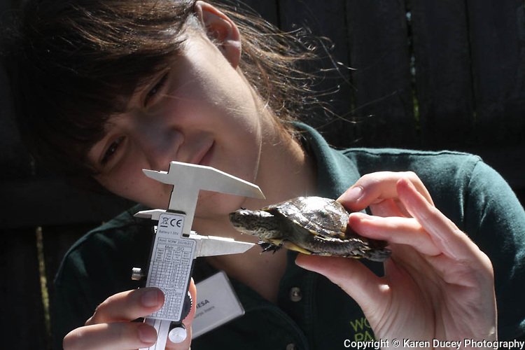 Zoo Corps intern, Theresa Keith, age 17, from Seattle, takes measurements off a Western Pond turtle that be released into the wild.