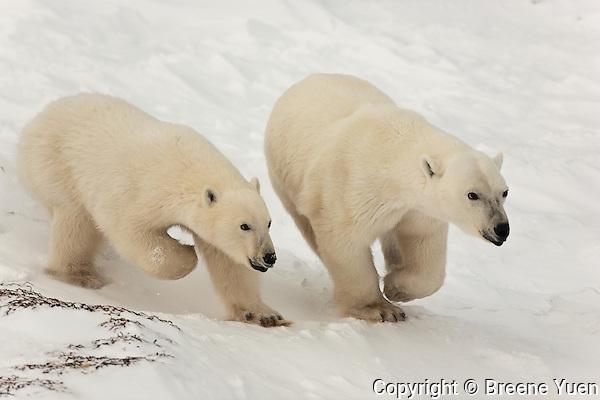 2 Polar Bears running along the frozen tundra near Hudson Bay