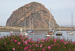 Morro Bay, San Luis Obispo County, CA<br /> Blooming rock rose at Morro Bay with Morro rock and moored boats in the distance