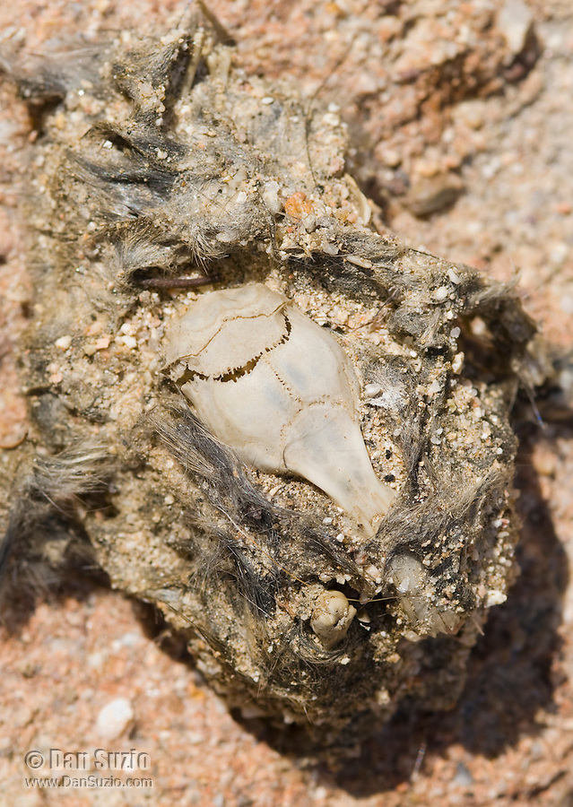 Rodent skull in owl pellet, Red Rock Canyon State Park, California