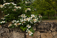 Guelder rose (Viburnum opulus) growing in the Turkish countryside - Bünyan, Kayseri, Turkey