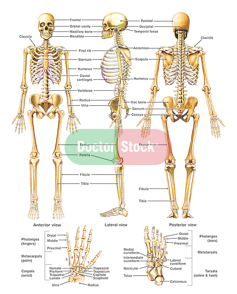 This medical exhibit diagram features a comprehensive overview of the human skeletal system. Three full standing skeletons are shown from the anterior, lateral and posterior views.  In addition, there are two illustrations displaying the bones of the hand and foot.