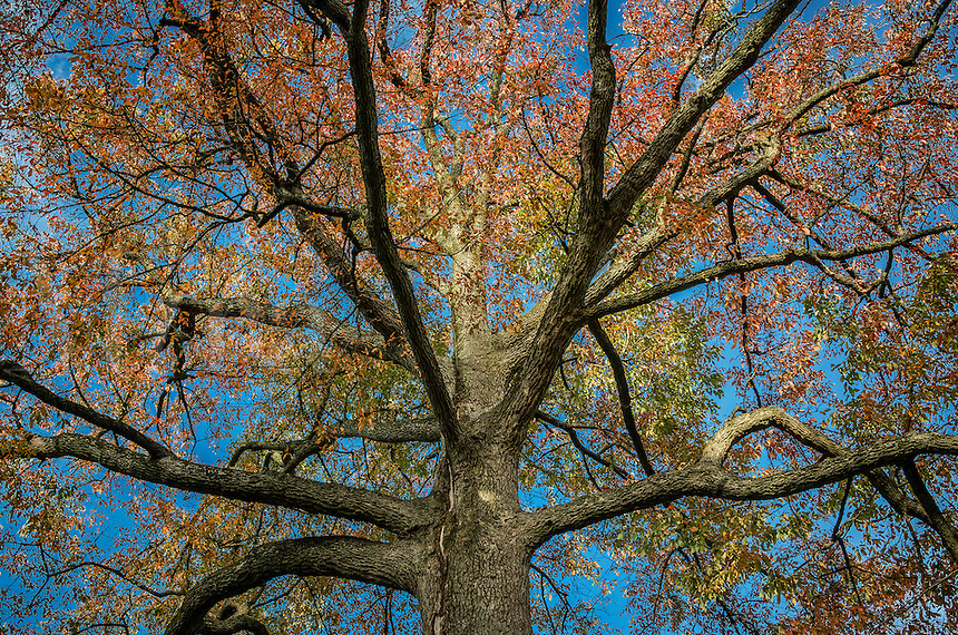Sour Gum tree, family Nyssa sylvatica, Delaware, USA