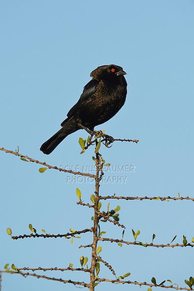 Bronzed Cowbird (Molothrus aeneus), male displaying, Rio Grande Valley, South Texas, Texas, USA