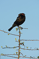 Bronzed Cowbird (Molothrus aeneus), male displaying, Rio Grande Valley, South Texas, Texas, USA