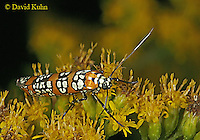 1007-06xx  Ailanthus Webworm Moth - Atteva punctella - © David Kuhn/Dwight Kuhn Photography
