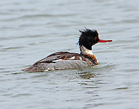 Adult male red-breasted meganser surfacing after a dive