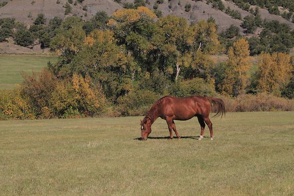Horse grazing in pasture in San Juan Mountains, autumn, Colorado.