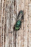 Blaue Goldwespe, Blaugrüne Goldwespe, Trichrysis cyanea, Chrysis cyanea, Goldwespen, Chrysididae, cuckoo wasp, cuckoo wasps