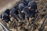 Riproduzione e allevamento di bufale da latte e bufali da carne..Reproduction and breeding of dairy buffaloes and buffalo meat....