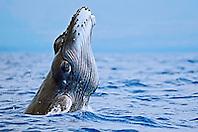 Humpback Whale newborn calf breaching with pleats expanded, Megaptera novaeangliae, Hawaii, Pacific Ocean.