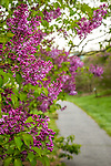 Lilacs at the Arnold Arboretum in the Jamaica Plain neighborhood, Boston, Massachusetts, USA