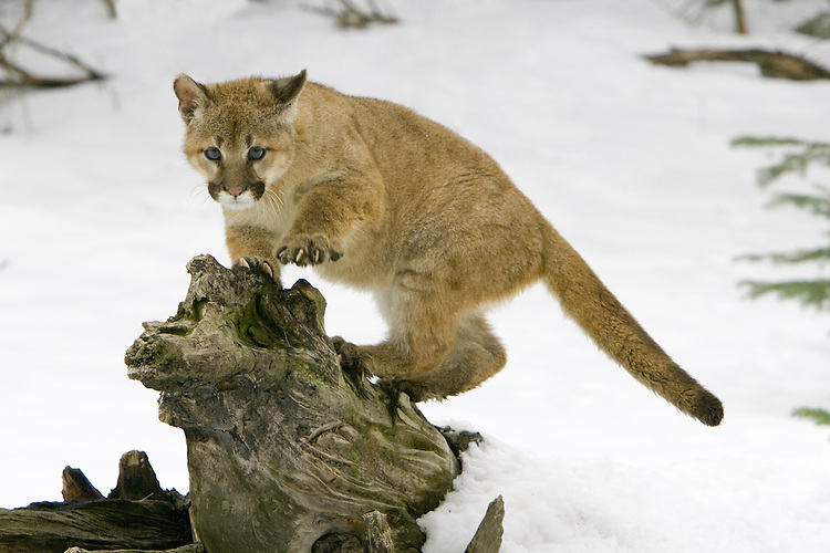 Puma kitten standing and watching from the top of an old log - CA