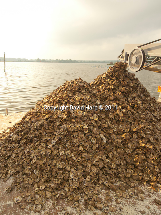 Oyster shell with tiny spat set on them are returned to the Chesapeake Bay to grown into adult oysters.