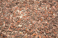 Cacao beans drying at a chocolate farm near La Fortuna, Costa Rica