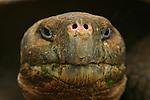 """With its 250 kilos and its expectation of life of more than 150 years, the giant turtle is the uncontested """"star"""" of the Galapagos<br /> Avec ses 250 kilos et son espérance de vie de plus de 150 ans, la tortue géante (Geochelone elephantophus) est la star  incontestée des Galapagos, le symbole mythique de cet archipel surgi du Pacifique il y a seulement cinq millions d'annees. ."""