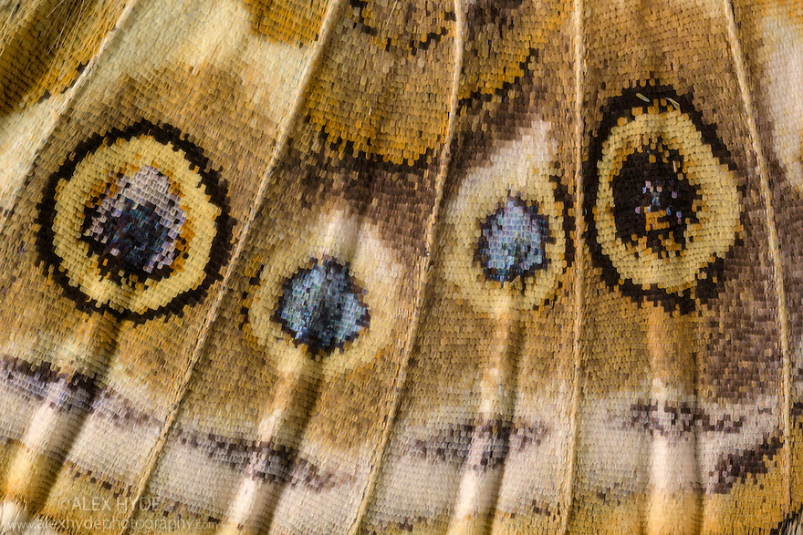 Close-up of underside of wing of Painted Lady Butterfly {Vanessa cardu} showing detail of scales. Note this is a living butterfly not a speciman. Peak District National Park, Derbyshire, UK. September.