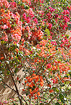 Bougainvillea growing on the west bank at Luxor.The town of Luxor occupies the Eastern part of a great city of antiquity which the ancient Egytians called Waset and the Greeks named Thebes.