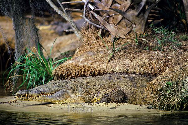 American crocodile (Crocodylus acutus) Florida.