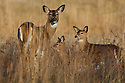00275-197.01 White-tailed Deer (DIGITAL) doe and two fawns are in meadow during fall.  Hunting, mother, young.  H3E1