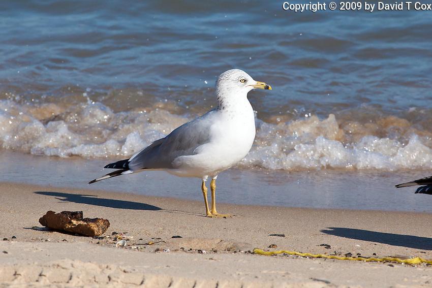 Ring-Billed Gull, San Felipe, Baja, Mexico