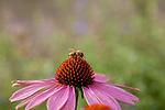 Europa, DEU, Deutschland, Nordrhein-Westfalen, Niederrhein, Duisburg, Sonnenhut, Purpur-Sonnenhut (Echinacea purpurea), Bluete, Biene, Natur, Umwelt, Pflanzen, Pflanzenkunde, Botanik, Biologie, Die Sonnenhuete (Echinacea) auch Scheinsonnenhuete oder Igelkoepfe genannt, sind eine Pflanzengattung aus der Familie der Korbbluetler (Asteraceae). Quelle - https://de.wikipedia.org/wiki/Sonnenh%C3%BCte_(Echinacea)<br /> <br /> [Fuer die Nutzung gelten die jeweils gueltigen Allgemeinen Liefer-und Geschaeftsbedingungen. Nutzung nur gegen Verwendungsmeldung und Nachweis. Download der AGB unter http://www.image-box.com oder werden auf Anfrage zugesendet. Freigabe ist vorher erforderlich. Jede Nutzung des Fotos ist honorarpflichtig gemaess derzeit gueltiger MFM Liste - Kontakt, Uwe Schmid-Fotografie, Duisburg, Tel. (+49).2065.677997, ..archiv@image-box.com, www.image-box.com]