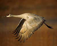 Sandhill crane (Campylorhynchus brunneicapillus) Bosque del Apache, New Mexico