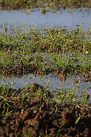 19.11.2020 Standing water in a Winter wheat crop<br /> ©Tim Scrivener Photographer 07850 303986<br />      ....Covering Agriculture In The UK....
