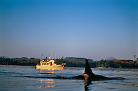 Orca whale watching in the San Juan Islands of Washington State.