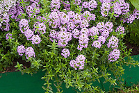 Thyme herb in flower Thymus Jekka  in pink blooms, culinary herb showing closeup of leaves and flowers