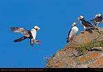 Horned Puffin Landing, Duck Island, Puffin Island, Tuxedni Bay, Cook Inlet, Alaska