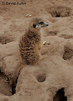 0214-08uu  Standing Meerkat on Lookout, Suricata suricatta © David Kuhn/Dwight Kuhn Photography